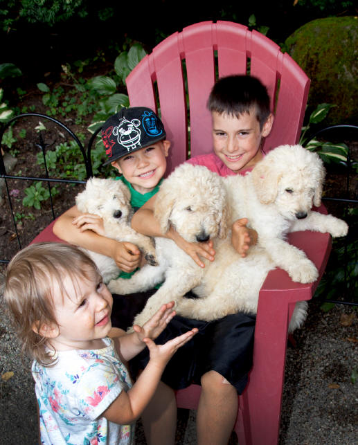 Goldendoodles - Buffalo, and Western New York - puppies